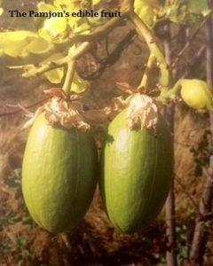 pamjon-fruit